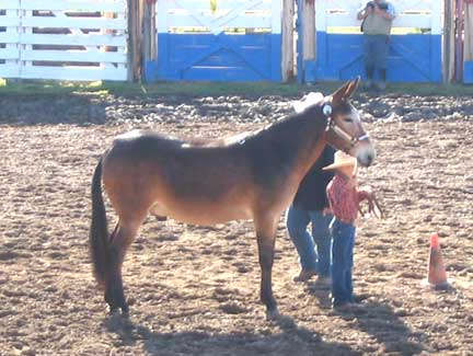 Youth Show Mule
